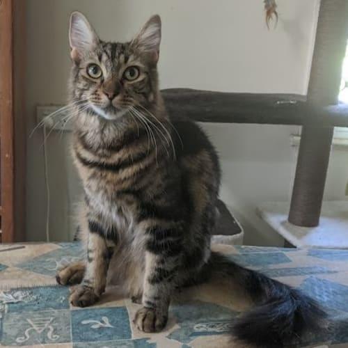 Willis - Domestic Medium Hair Cat