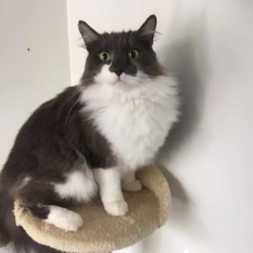 Jax - Ragdoll Cat