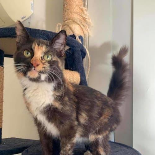 Clio - Domestic Short Hair Cat