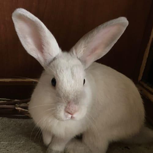 Casper - Rex x Californian Rabbit