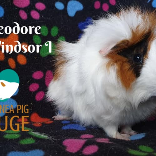 Theo - Abyssinian Guinea Pig