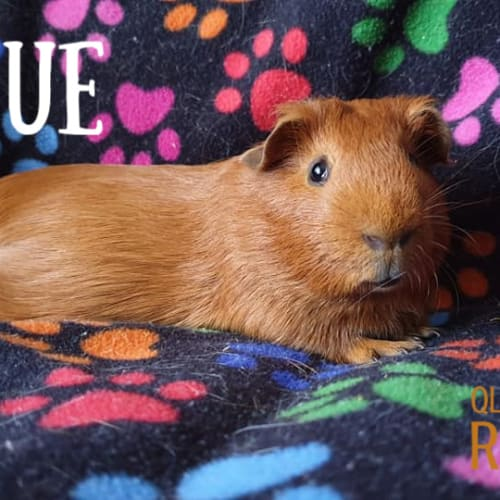 Blue (not suitable for children) - Smooth Hair Guinea Pig