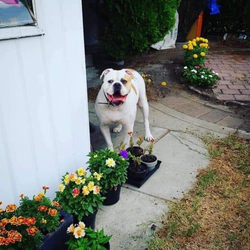 Rex - American Bulldog
