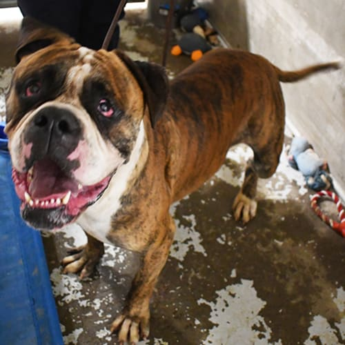 Bruno - American Bulldog