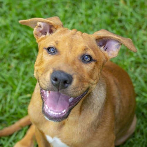 Montanna ~ sweet Mastiff x Ridgeback puppy - Mastiff x Ridgeback Dog
