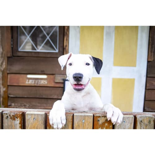 Noah ~ Great Dane x Bull Terrier puppy - Great Dane x Bull Terrier Dog