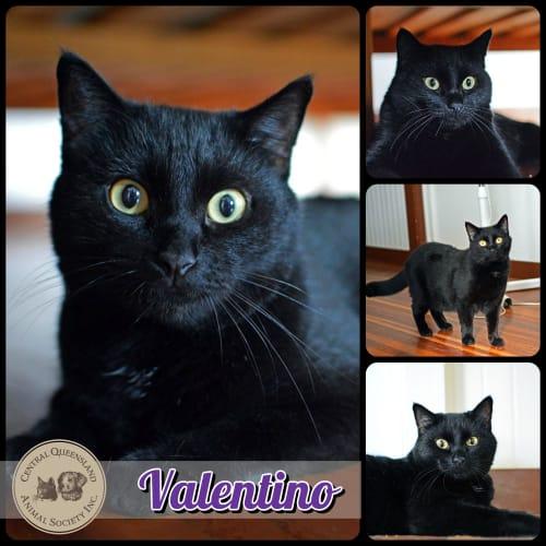 Valentino  - Domestic Short Hair Cat