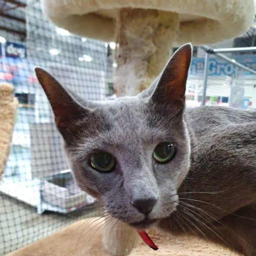 Luna - Russian Blue Cat