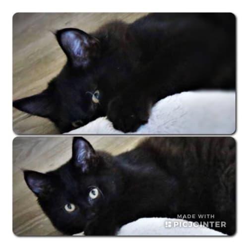 Wizard - Domestic Short Hair Cat