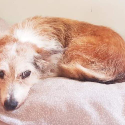 Sandy - Terrier Dog
