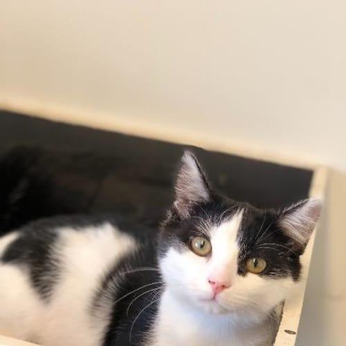 Peyton - Domestic Short Hair Cat