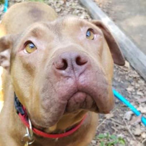 Buddy  932910 - American Staffordshire Terrier Dog