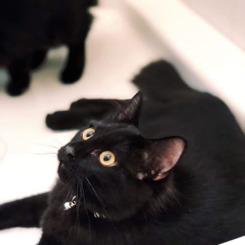 Shelby - Ragdoll x Domestic Long Hair Cat