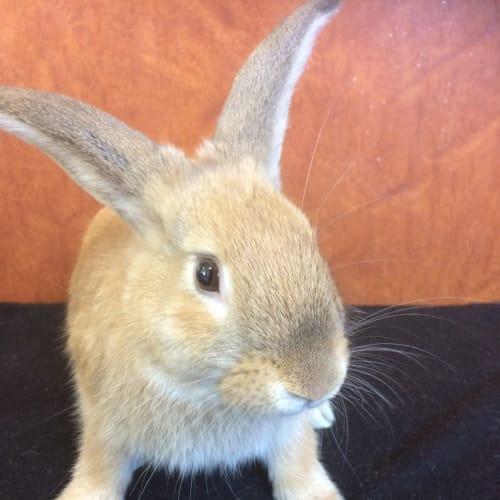 Parker - Dwarf lop Rabbit