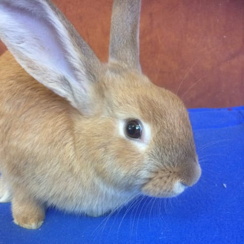 Parsley - Dwarf lop Rabbit