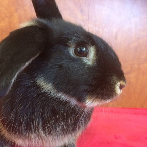 Pumpkin  - Dwarf lop Rabbit