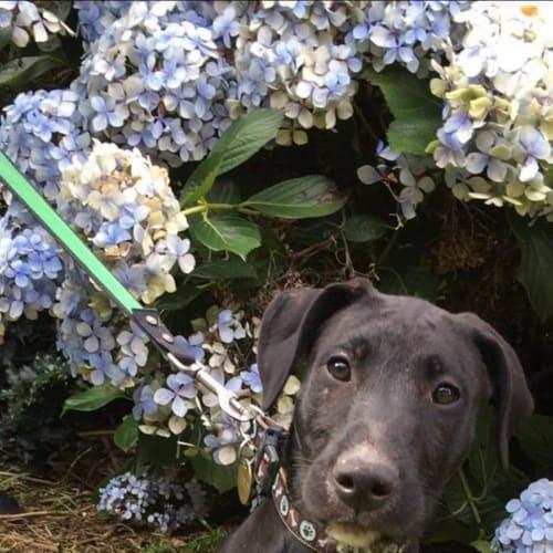 Lemon Butter - Irish Wolfhound x Airedale Dog