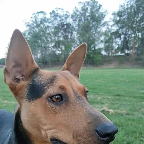 Freddie - Kelpie x Australian Cattle Dog