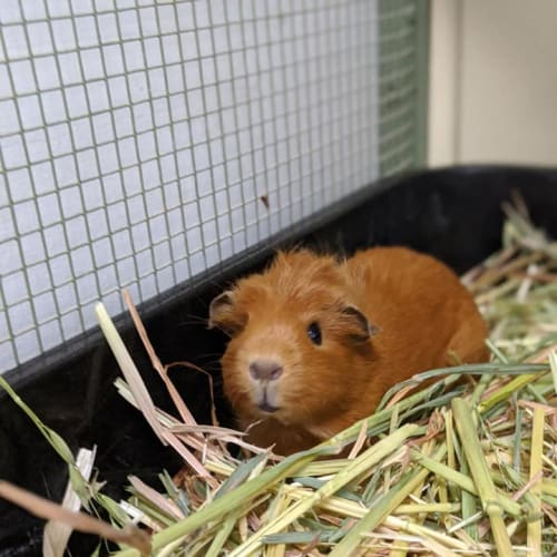 Lily - Crested Guinea Pig