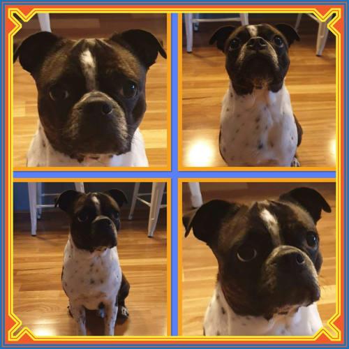 Homer Bear - Boston Terrier Dog