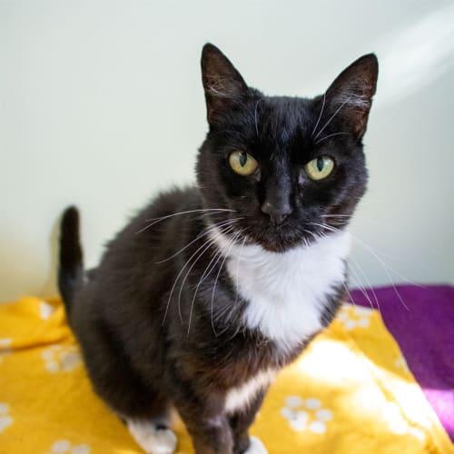 Maudy - Domestic Short Hair Cat