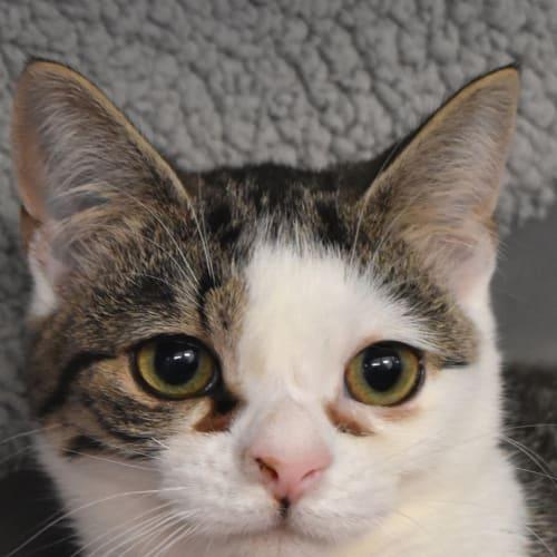 Pauline - Domestic Short Hair Cat