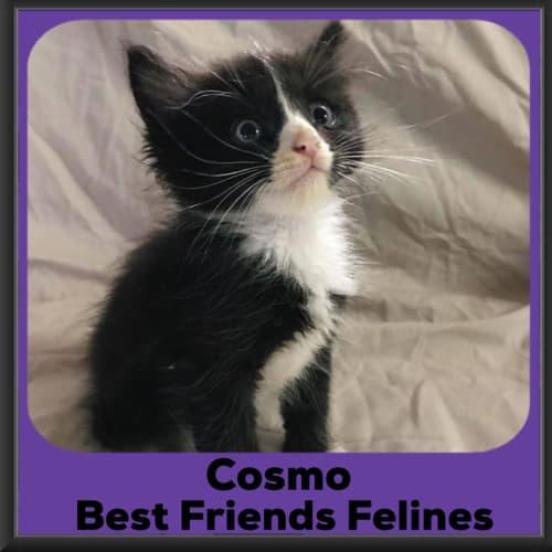 Cosmo - Domestic Medium Hair Cat