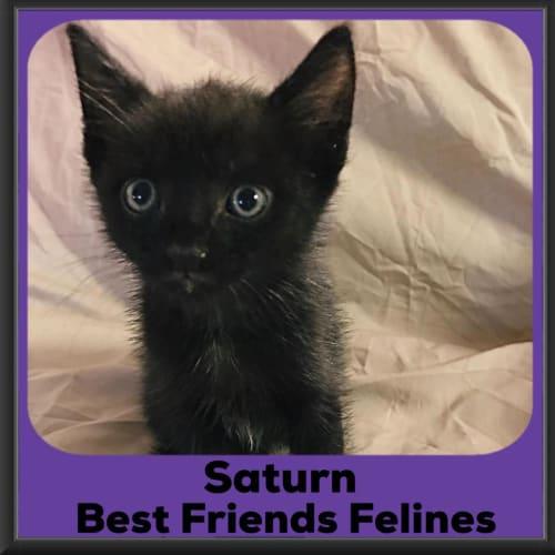Saturn  - Domestic Short Hair Cat