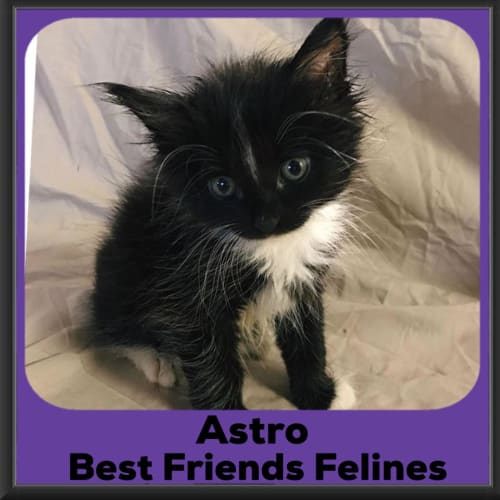 Astro - Domestic Long Hair Cat