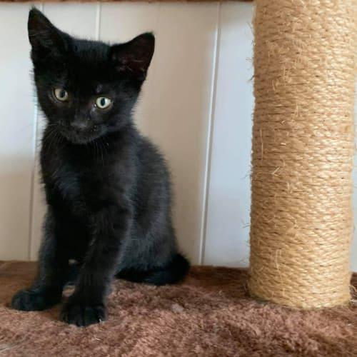 Boo-Boo - Domestic Short Hair Cat