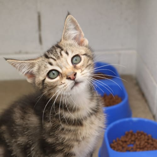 Nate 933398 - Domestic Short Hair Cat