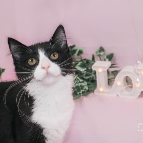Hazel - Domestic Medium Hair Cat