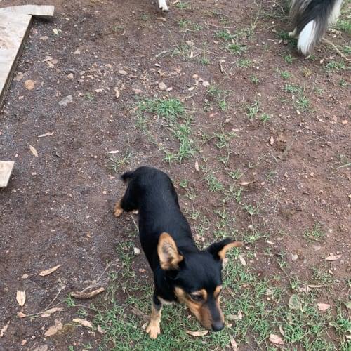 Ben - Kelpie Dog