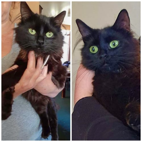 Millie - Domestic Long Hair Cat