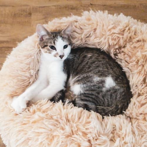 Jimmie - Domestic Medium Hair Cat
