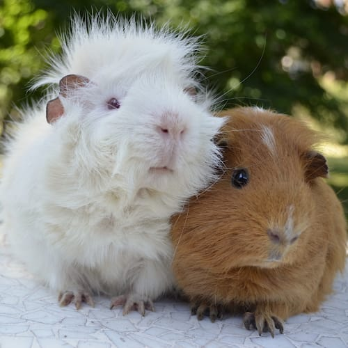 Alistair and Norman -  Guinea Pig