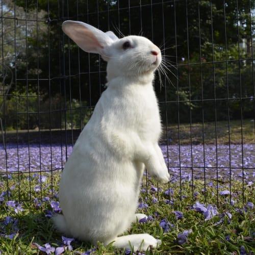 Montay - Flemish Giant Rabbit