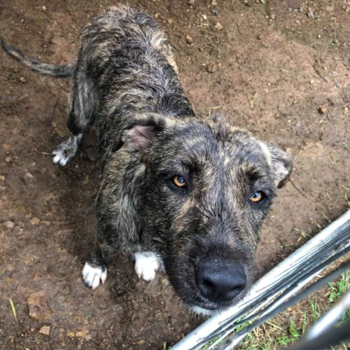 Brindley  - Irish Wolfhound x Staffordshire Bull Terrier Dog