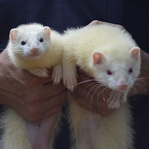 Tink and Flip -  Ferret