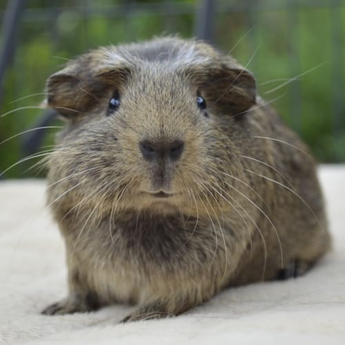 Wally -  Guinea Pig
