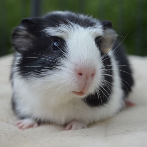 Pepe -  Guinea Pig