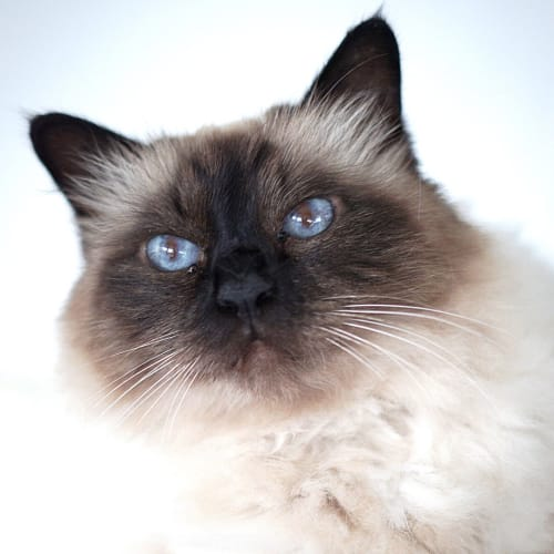 Malibu ~ 13 year old Birman - Birman Cat