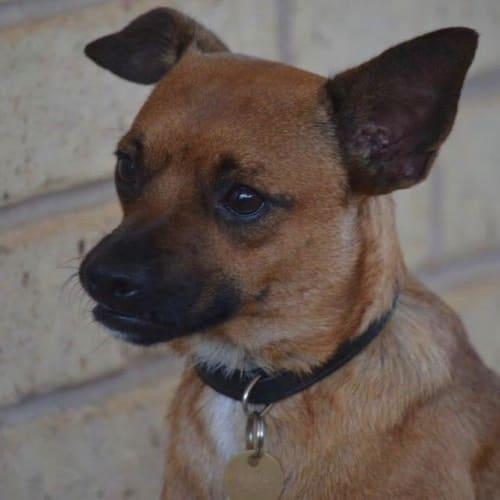 Syd - Terrier Dog