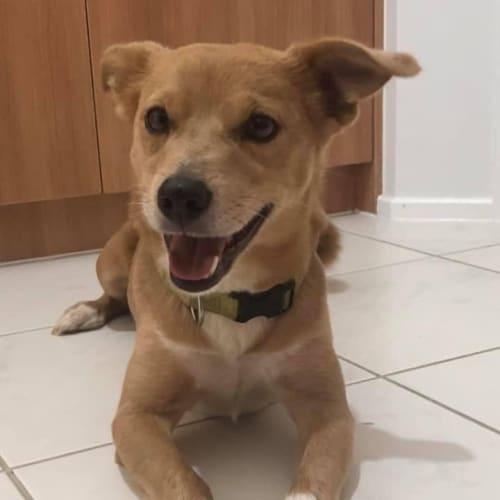Smacko - Jack Russell Terrier Dog