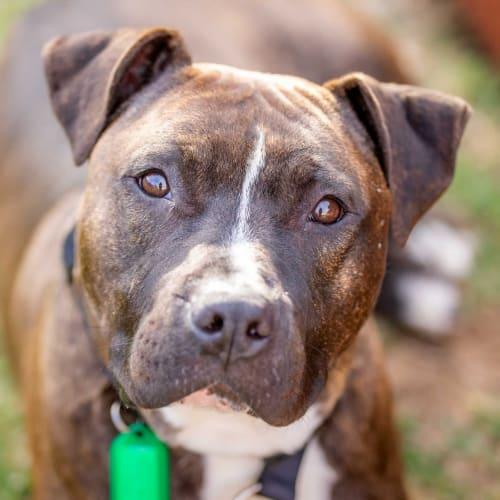 Louis DL2376 - Amstaff Dog