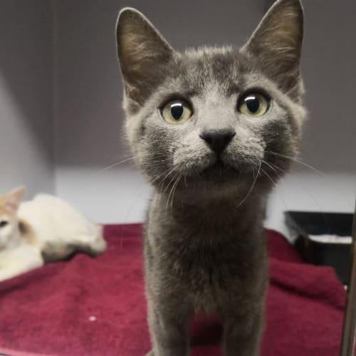 Paddy - Domestic Short Hair x Russian Blue Cat