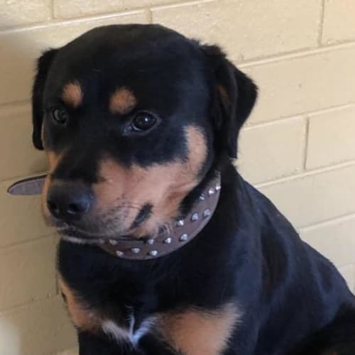 Blackie - Rottweiler x Mixed Breed Dog