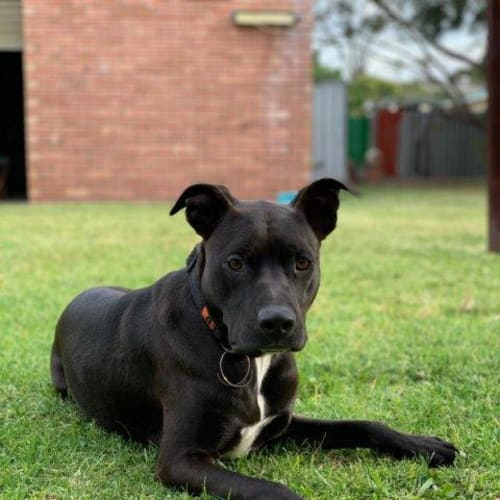 Dave - Staffordshire Bull Terrier x Border Collie Dog