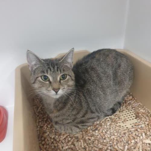 Harriet - Domestic Short Hair Cat