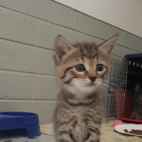 Halsey - Domestic Short Hair Cat